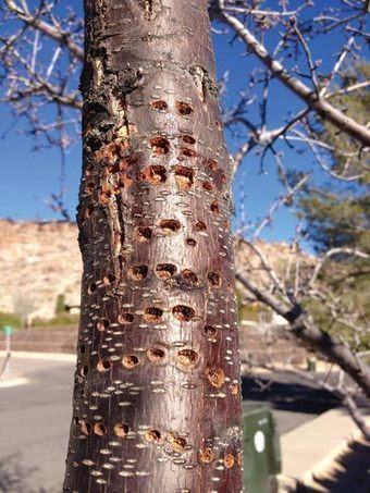 Woodpecker or insect? Something's tearing up Kingman's trees | Kingman (AZ) Daily Miner | CALS in the News | Scoop.it