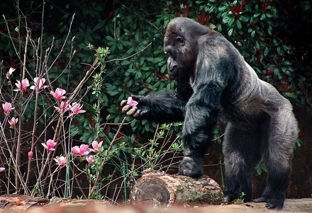 "Ivan the gorilla, who called B&I home for nearly 30 years, dies in Atlanta | ""The One and Only Ivan"" by Katherine Applegate 