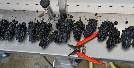 home domaine harvest day 1 – 22-sept-2016 | Pinot Post | Scoop.it