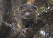 L'olinguito, premier mammifère découvert depuis 35 ans   Ecologie et environnement   Scoop.it