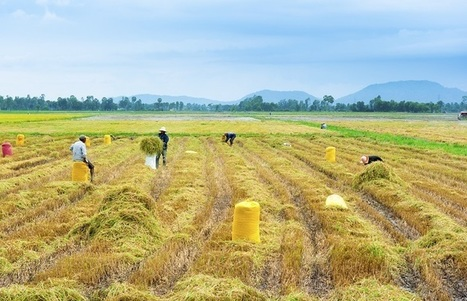 VFA Pessimistic About Vietnam's Rice Export Prospects in 2015 | Vietnam: Inclusive & Sustainable Agriculture | Scoop.it