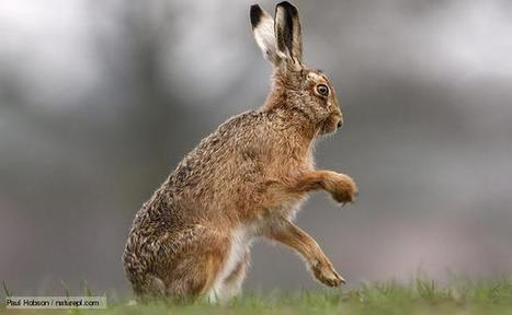 BBC Nature - Hare videos, news and facts | Agua | Scoop.it