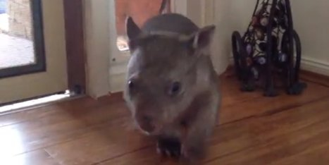 Cute Alert! This Wombat Knows How To Use A Cat Door | Garden Spot | Scoop.it
