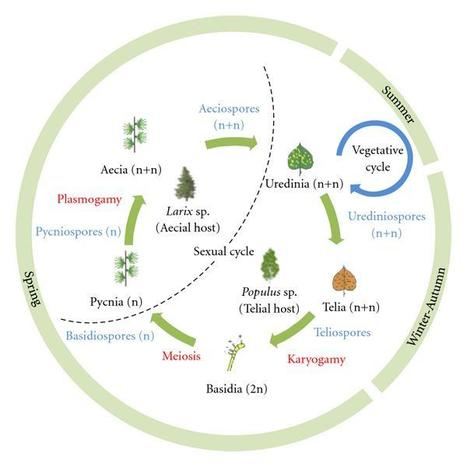 Journal of Pathogens: The Poplar-Poplar Rust Interaction: Insights from Genomics and Transcriptomics | My papers | Scoop.it