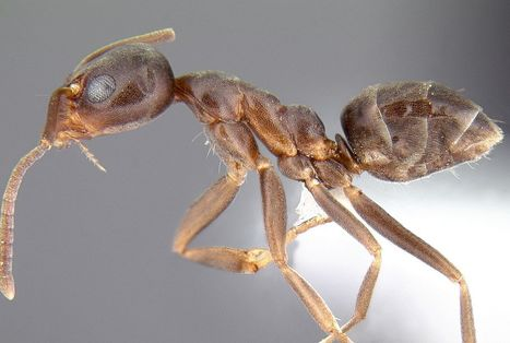 Les néonicotinoïdes poussent les fourmis à se battre jusqu'à la mort   EntomoNews   Scoop.it