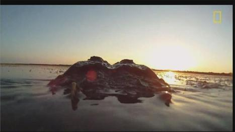 See How Alligators Live in Northeast Florida - ActionNewsJax.com | Gatorisms | Scoop.it