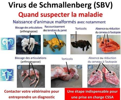 Virus de Schmallenberg – 3ème vague de circulation – 29 ... | Schmallenberg virus | Scoop.it