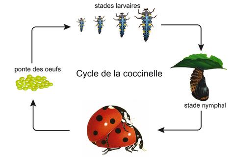 La coccinelle : l'alliée du jardinier | Comprendre le réel intérêt de produire une agriculture BIO en France plutôt que d'importer des produits présentant un label pas vraiment Certifié. | Scoop.it