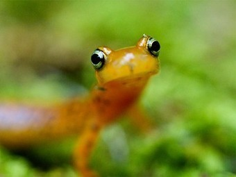 Scientists discover that salamanders are unsung climate warriors! | Biodiversity protection | Scoop.it