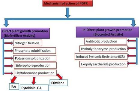 Application of Plant Growth Promoting Rhizobacteria (PGPR) for enhanced crop growth | Crop yield | Scoop.it