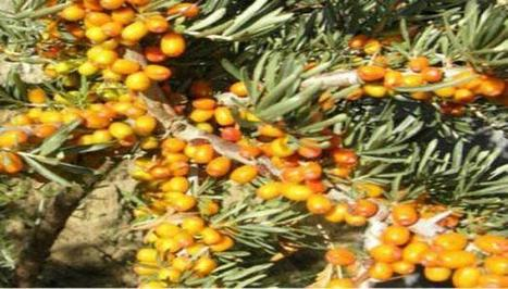 Ladakh highest producer of sea buckthorn in India: J-K Govt | Sea Buckthorn | Scoop.it