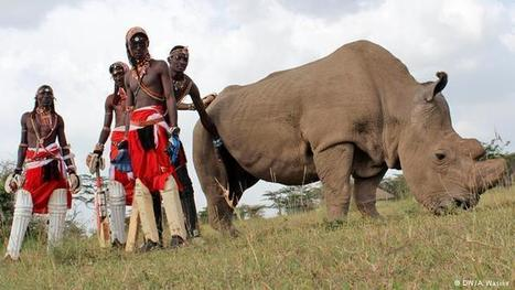 Maasai warriors take to the cricket field to save the northern white rhino | What's Happening to Africa's Rhino? | Scoop.it