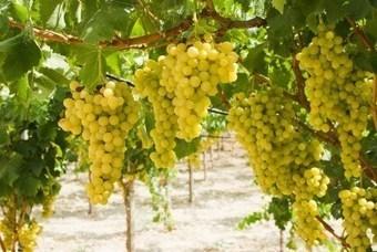 Verdicchio dei Castelli di Jesi – Back in style with Vallerosa Bonci | Wines and People | Scoop.it