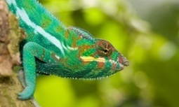 Nanocrystal spacing: How a chameleon changes color revealed | Amazing Science | Scoop.it