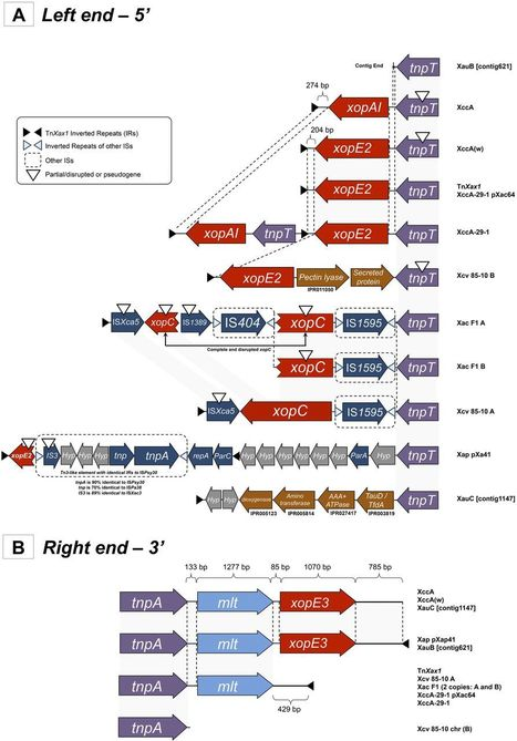 mBio: A TALE of Transposition: Tn3-Like Transposons Play a Major Role in the Spread of Pathogenicity Determinants of Xanthomonas citri and Other Xanthomonads (2015) | Plant Pathogenomics | Scoop.it