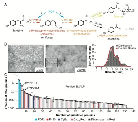 Characterization of a dynamic metabolon producing the defense compound dhurrin in sorghum | Interaction, and more... | Scoop.it