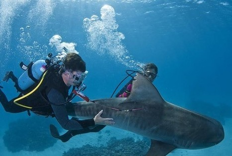 Coral Reefs Help Track Migration Of Tiger Sharks And Predict Attacks - RedOrbit | Tiger Sharks | Scoop.it