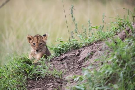 Safarious Journal - RWANDA'S ROARING SUCCESS | Conservation Success | Scoop.it