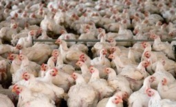Perdue Announces Dramatic Reduction in Chicken Antibiotic Use | Food Ethics | Scoop.it
