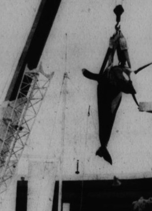 Twitter / Voice_OT_Orcas: #Blackfish Hugo getting lifted ... | Honor the Orcas, Dive in! | Scoop.it