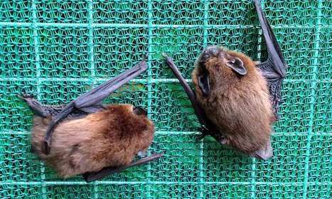 Minding the gap: City bats won't fly through bright spaces - Phys.Org | Bat Biology and Ecology | Scoop.it