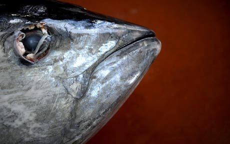 Bluefin tuna - magnificent fish too valuable to save  - Telegraph | ECON1 Market Failure and Government Intervention | Scoop.it