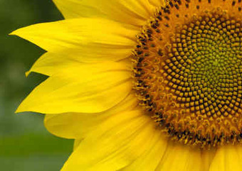 Nature, The Golden Ratio and Fibonacci Numbers | Maths Issues | Scoop.it