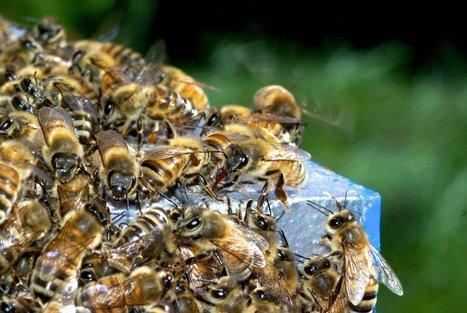Bee-pocalypse ahead as officials continue Zika spraying? | Epicurist: In Victus Veritas | Scoop.it