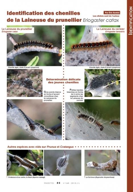 Les chenilles de la Laineuse du prunellier, une espèce protégée | EntomoScience | Scoop.it