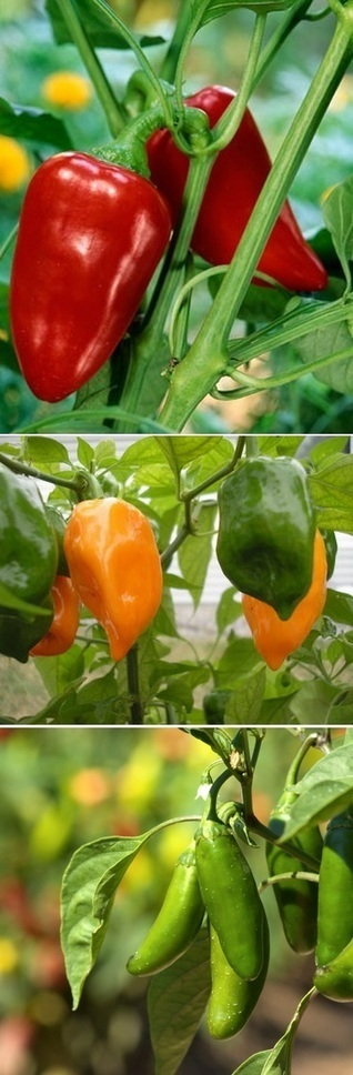 6 Steps to grow peppers | Backyard Gardening | Scoop.it