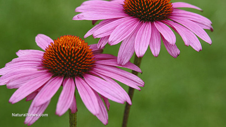 Echinacea preparation as effective as Tamiflu in early flu cases in large clinical trial | Allergies, immunity and infections | Scoop.it