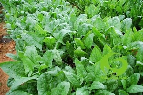 Bán hạt giống rau cải bó xôi ( rau chân vịt, bina) ở Hà nội | Noithatmax.com | Scoop.it