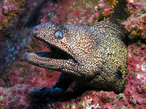 Moray Eel Facts | Follow Me For the Amazing Facts about Moray eels | AnimalsTime | Scoop.it