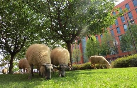 Seine-Saint-Denis: Des moutons sur le béton pour créer du lien social | actualités en seine-saint-denis | Scoop.it