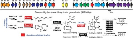 Biosynthesis of Ambiguine Indole Alkaloids in Cyanobacterium Fischerella ambigua | Music | Scoop.it