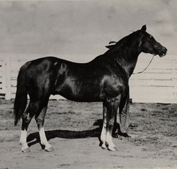 Quarter Horse History: The First 20 – America's Horse Daily | Today's Horse Sense | Scoop.it