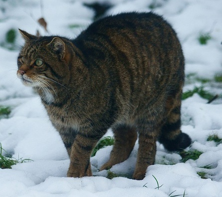Scottish Wildcats Are Interbreeding Themselves Into Extinction | Wildlife and Environmental Conservation | Scoop.it