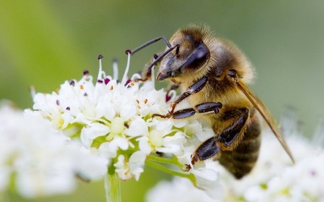 Honey bees' electric charge makes them easy prey for spiders | BIOSCIENCE NEWS | Scoop.it