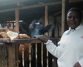 Rural Kenyans Are Bringing Their Cows With Them to Cities. What Could Go Wrong? | Sustain Our Earth | Scoop.it
