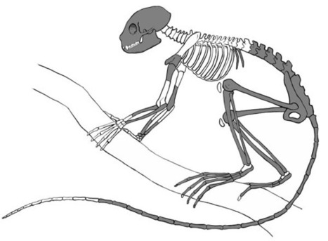 World's oldest primate skeleton found | Social Studies Infromation | Scoop.it