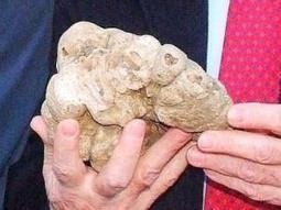 Trovato in Molise il tartufo bianco più grande al mondo: 1,5 kg | m o l i s e l a n d . i t | HTMG - Hotel & Tourism Management Group | Scoop.it