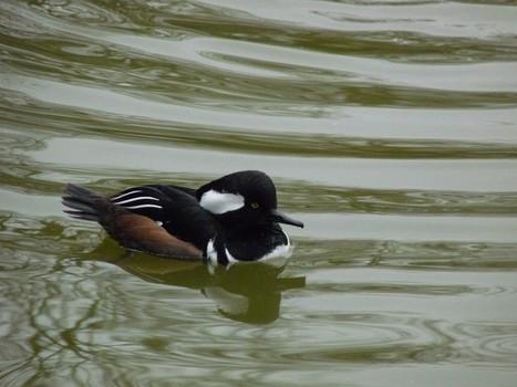 harle - Photos d'oiseaux: Harle couronné - Mergus cucullatus - Lophodytes cucullatus   Fauna Free Pics - Public Domain - Photos gratuites d'animaux   Scoop.it