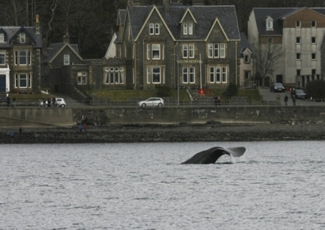 Fears grow for Oban Bay whale - Environment - Scotsman.com | My Scotland | Scoop.it