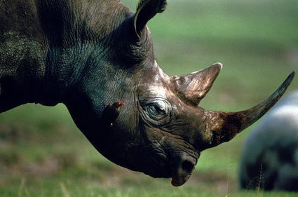 South Africa Regroups in War on Rhino Horn Poachers | Rhino links | Scoop.it