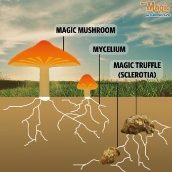 The difference between Magic Truffles and Magic Mushrooms | Buy Online Magic Truffles Amsterdam | Scoop.it