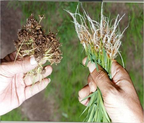 #Rice #Crop #Farmers!! #Root knot #nematode #larvae infect Rice crop and #drains crop's #photosynthesis and #nutrients. This results in complete loss of yield. | Effective Biological treatment | Scoop.it