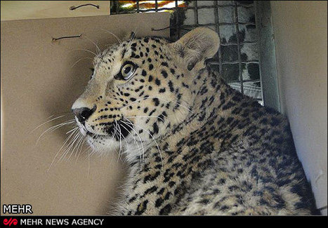Persian Leopards: Large Cats with a Small Chance for Survival | Guest Blog, Scientific American Blog Network | Cats Rule the World | Scoop.it