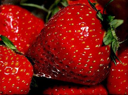 Fraise - La fraise belge passe au hors-sol, Fruits et Légumes - Pleinchamp | Fraise | Scoop.it