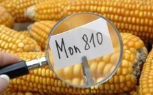 Italian Court Refuses Farmers Request to Sow GMO Corn Seeds ... | GMO GM Articles Research Links | Scoop.it
