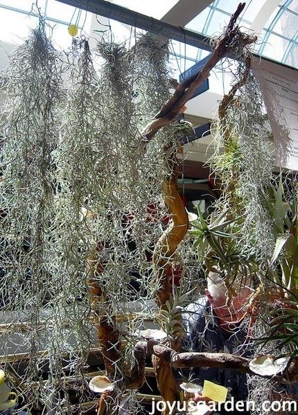 Terrific Tillandsias! Joy Us Garden | gardening ideas | Scoop.it